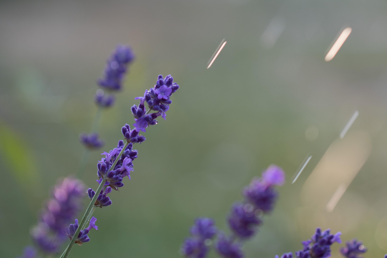 dieses Foto zeigt Lavendel im Regen