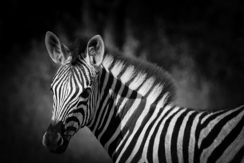 dieses Foto zeigt ein Zebra