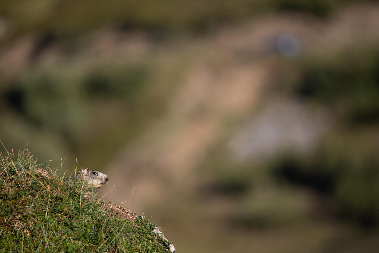 dieses Foto zeigt ein Murmeltier in Frankreich